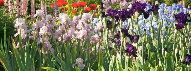 All_About_Iris_Bearded_Iris